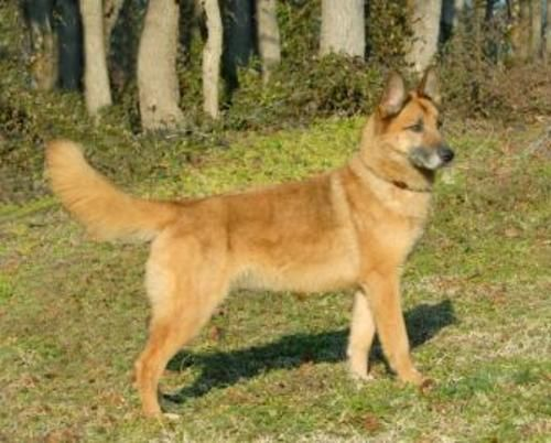 Adopt Lacey on (With images) Belgian shepherd, Dutch