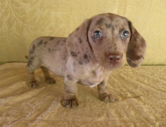 What Are The Coat Patterns Of The Dapple Dachschund Dapple