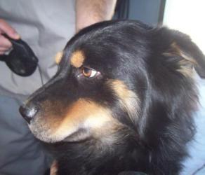Tropper Is An Adoptable Australian Shepherd Dog In Arlington
