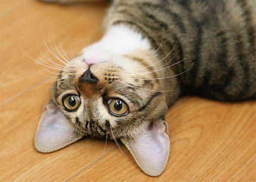 暑さもおさまりミーも過ごしやすそうです。 床にゴロンと横になり気持ちよさそうです。 小さな虫が飛...