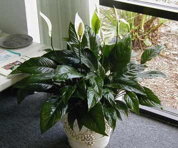 Spathiphyllum Petite Dwarf Peace Lily Shade Avg 400 x 300