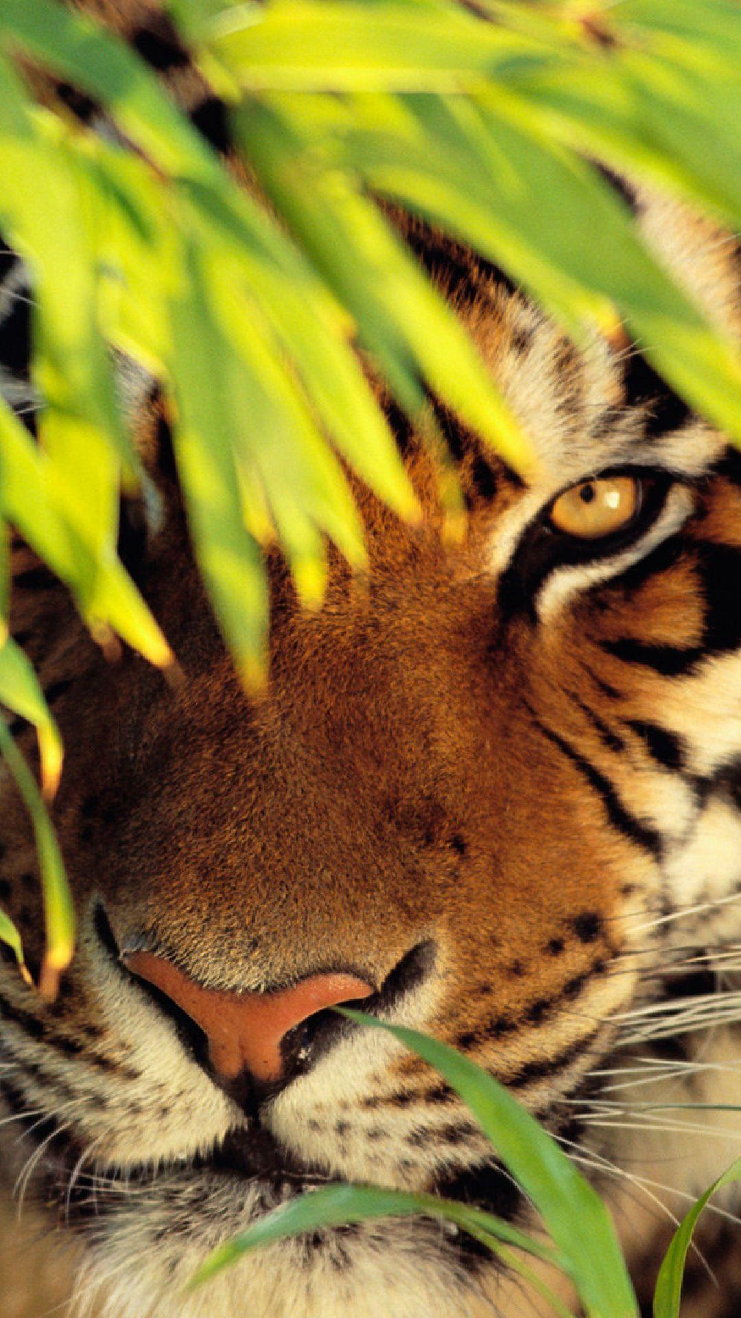 Wallpapers Felidae Wildlife Whiskers White Tiger