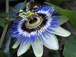 Afbeeldingsresultaat voor passiflora constance elliott