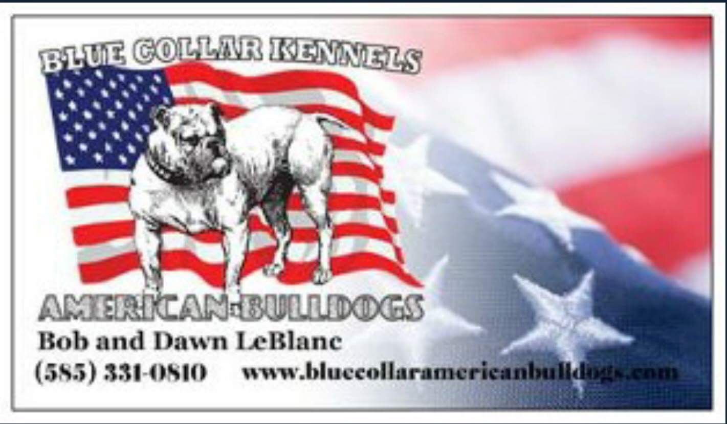 Blue Collar American Bulldogs American Bulldog Breeders