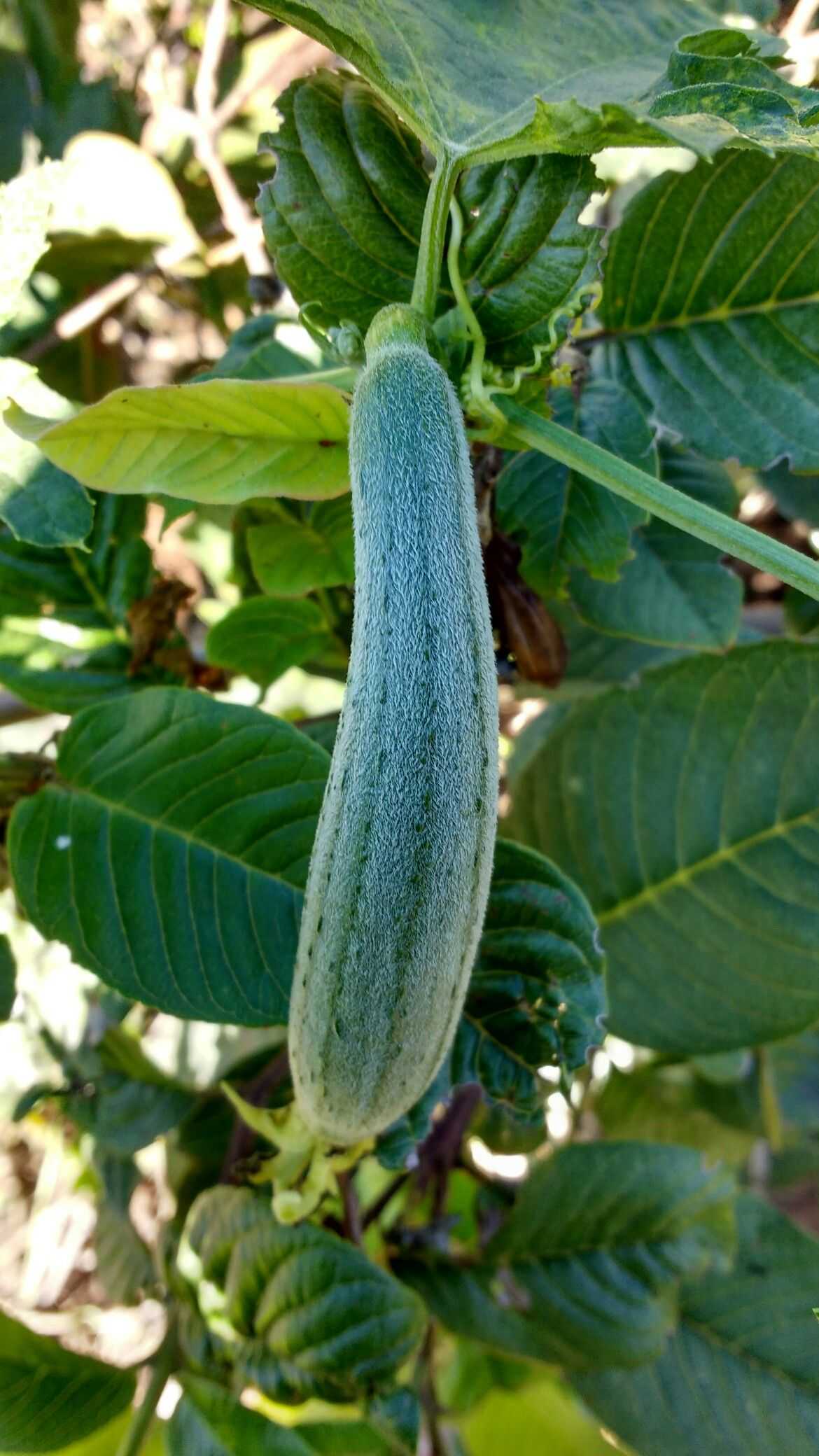 Bucha vegetal
