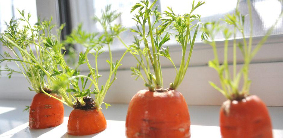 d couvrez comment faire repousser les fanes de carottes partir des bouts que vous auriez. Black Bedroom Furniture Sets. Home Design Ideas