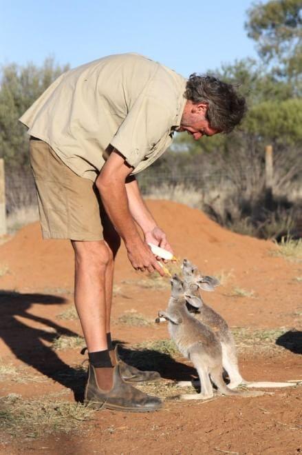 """Un """"papà"""" per i cuccioli di canguro rimasti orfani"""