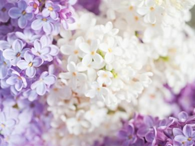 Look At These Beautiful Flowers And Let Their Meanings Encourage And Inspire You Flower Meanings Lilac Background Lilac