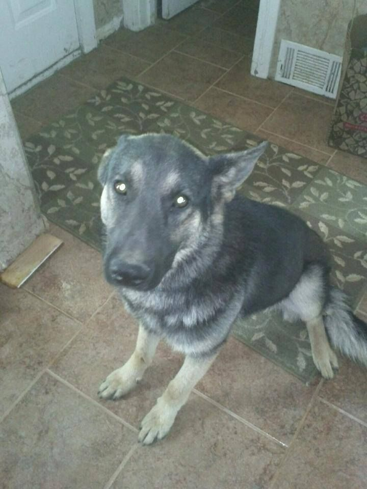 This German Shepherd Is Missing From Kirby And Macedonia Please