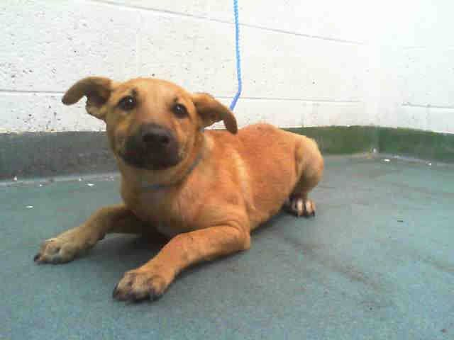 SAFE --- JAZZY (A1690100) I am a female tan Terrier mix. The shelter staff think I am about 5 months old and I weigh 21 pounds. I was found as a stray and I am available for adoption. Miami Dade https://www.facebook.com/urgentdogsofmiami/photos/pb.191859757515102.-2207520000.1428368278./958338084200595/?type=3&theater