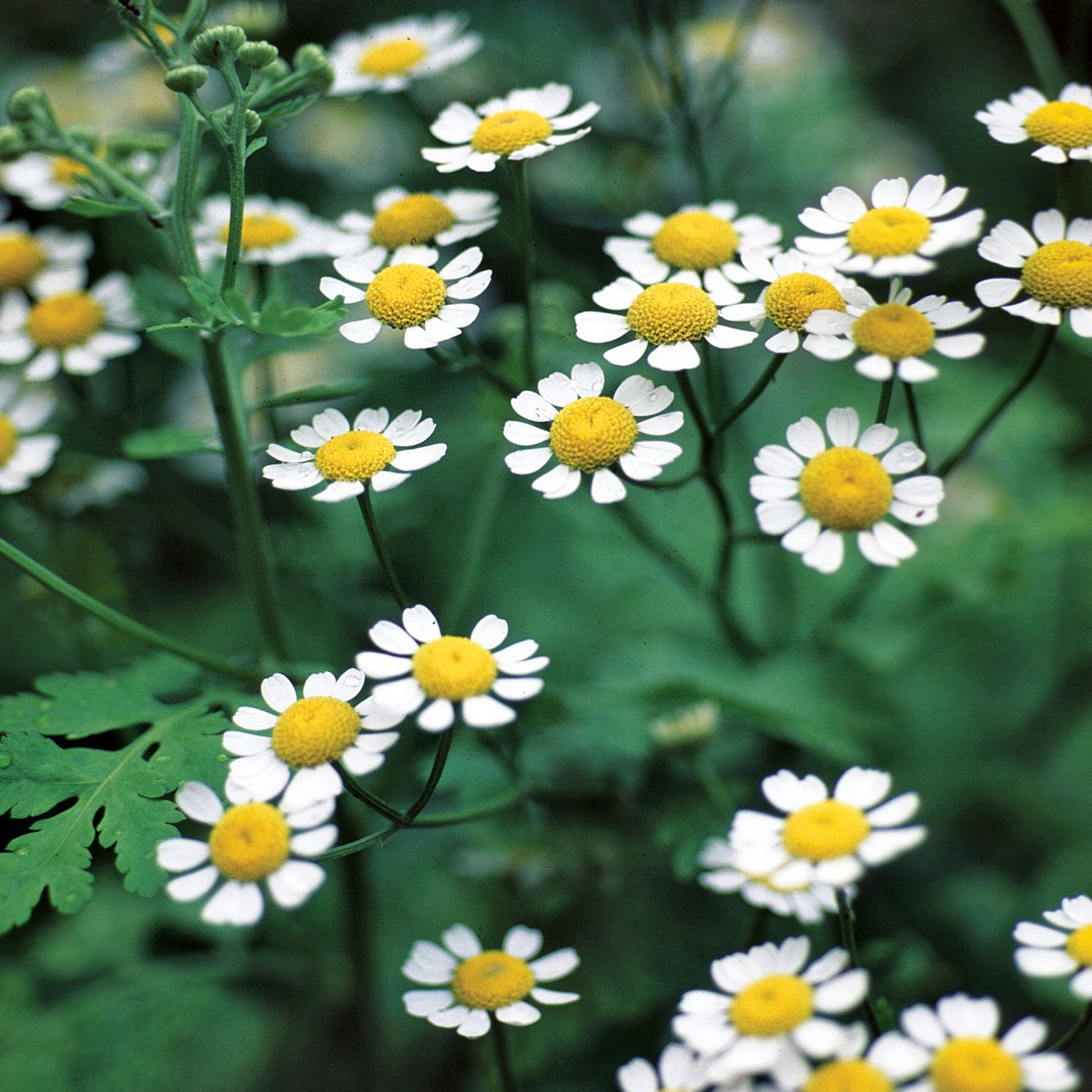 Feverfew Nccih In 2020 Headache Treatment Feverfew Feverfew Plant