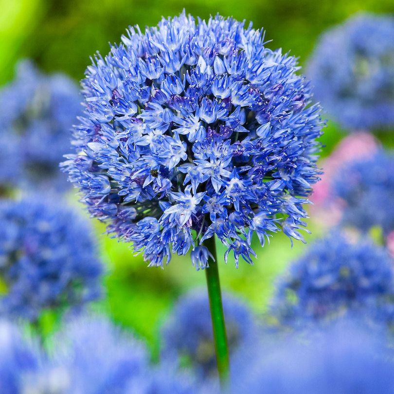 25x Ail décoratif bleu bleu le paquet de 25 Oignon en