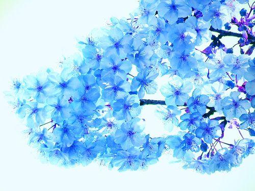 Blue Cherry Blossoms Blue Cherry Blossoms Cherry Blossoms Drawing Cherry Blossom Drawing Blue cherry blossom wallpaper