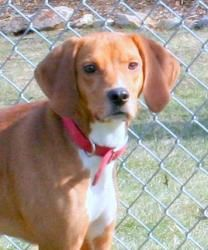 Adopt Ella On Beagle Lab Mixes Beagle Dog Beagle Hound