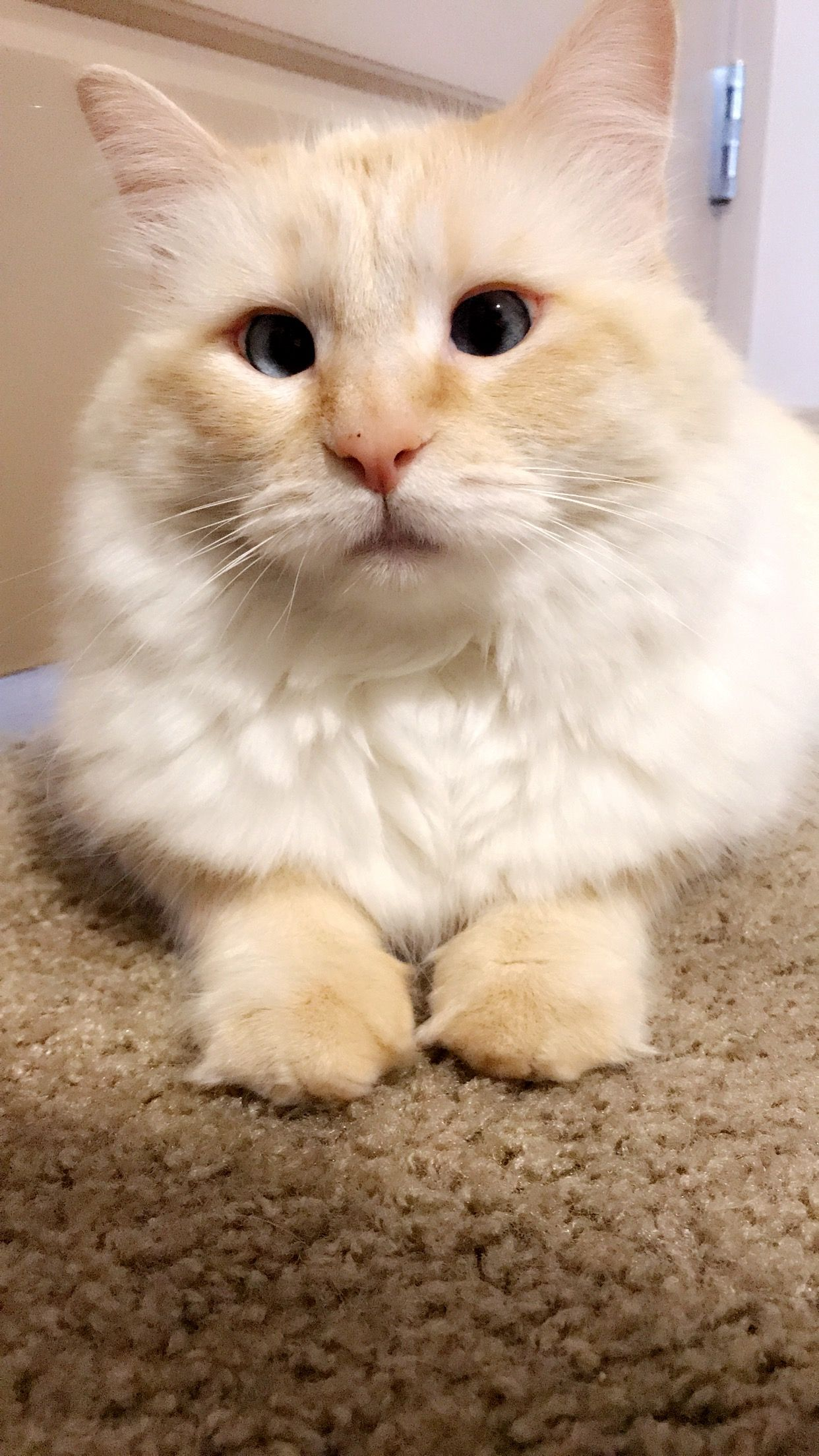 Pin By Dixie Leavitt On Bella The Cross Eyed Kitty Cat Furry Cute Cats Cute Cats And Kittens
