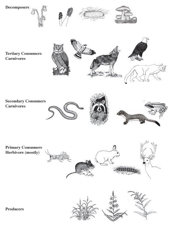 everglades food web activity answers - Google Search | biology ...