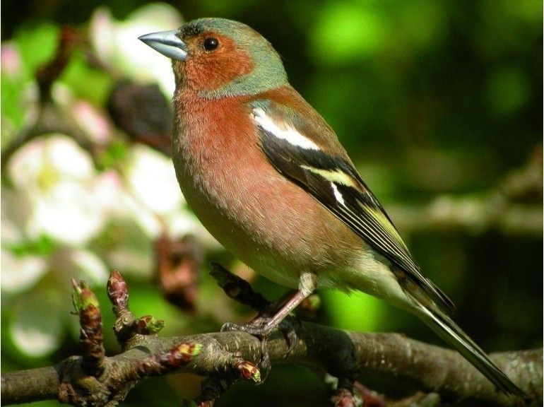Oiseaux De Notre Jardin  Pinson