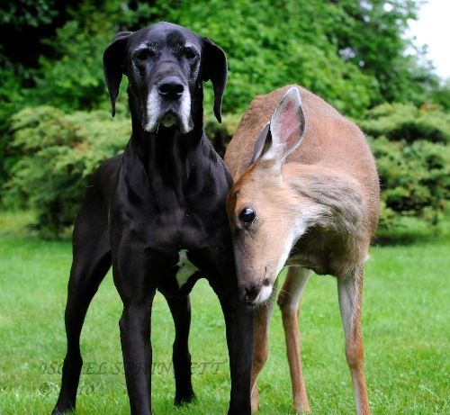 White Wolf Animal Odd Couples Kate And Pip Great Dane And Deer
