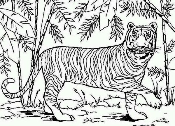 Tiger An Asian Tiger In Bamboo Forest Coloring Page