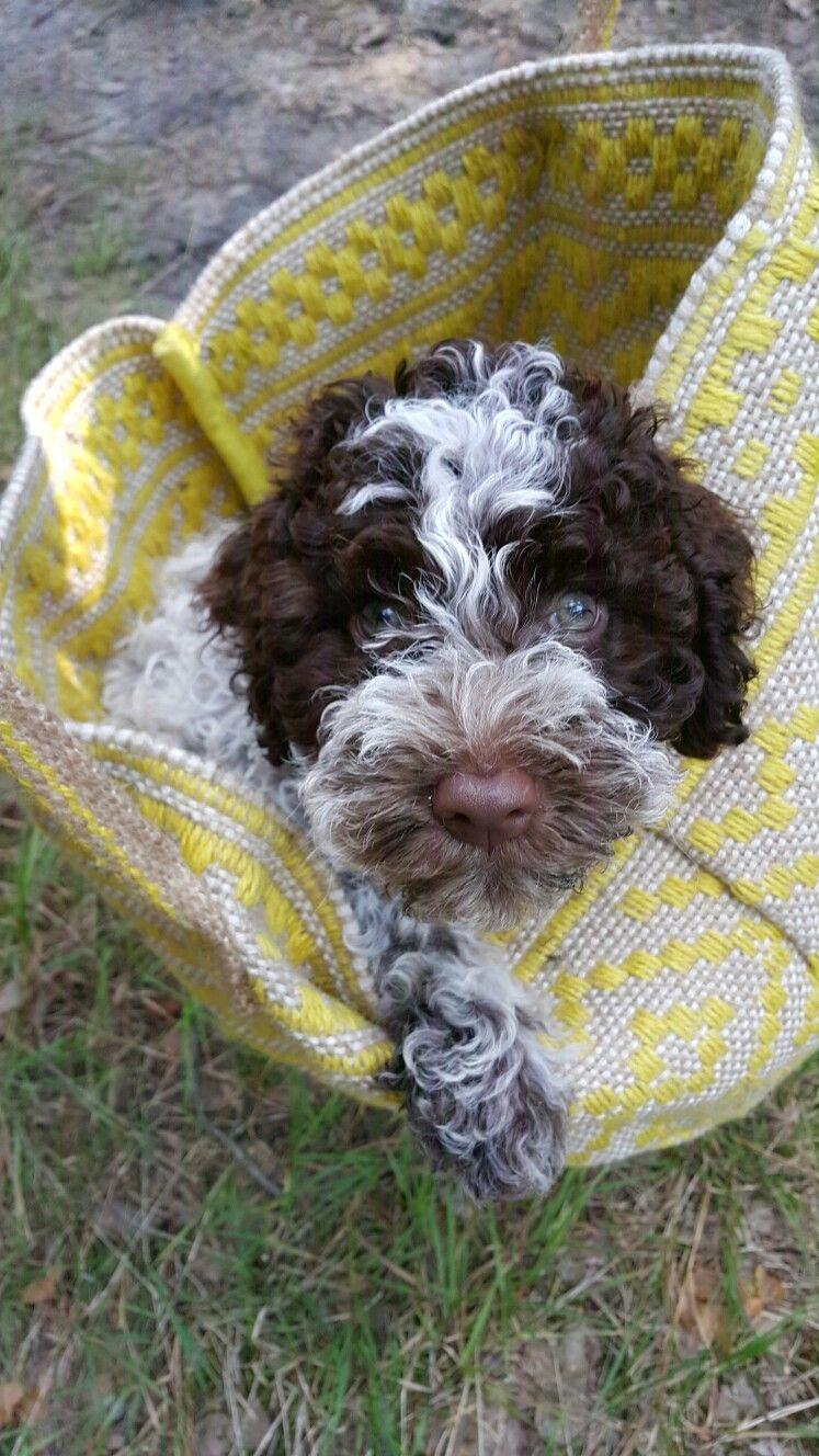 Lagotto Romagnolo Hypoallergenic Dog Breed Dog Friends Lagotto