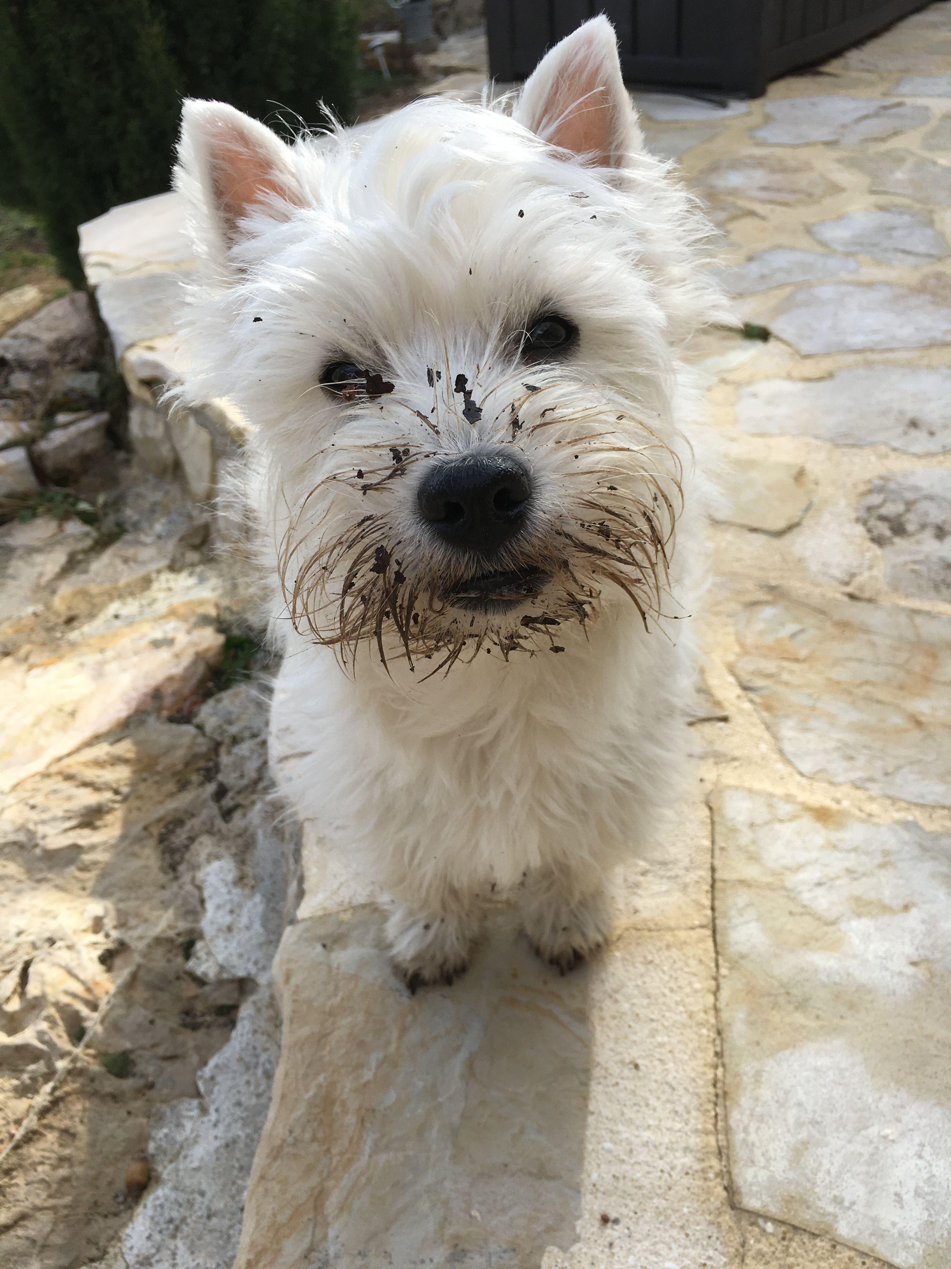 Pin By Jasper On Cute Little Shaggy Dogs West Highland