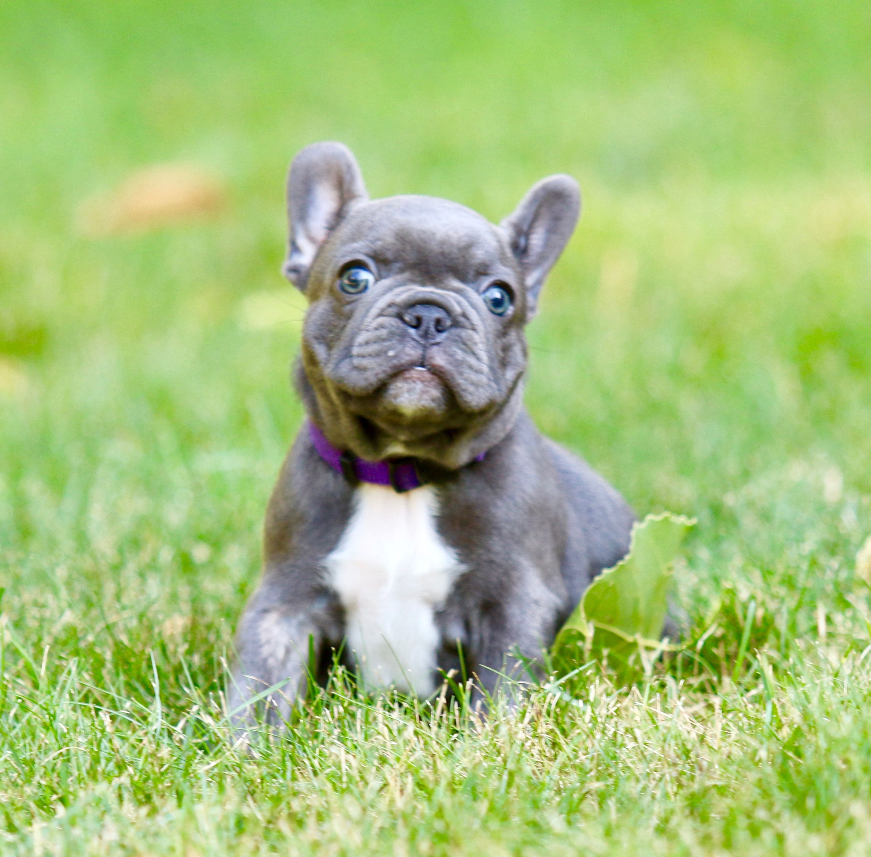 French Bulldog Ambers English Bulldogs French Bulldog Puppies
