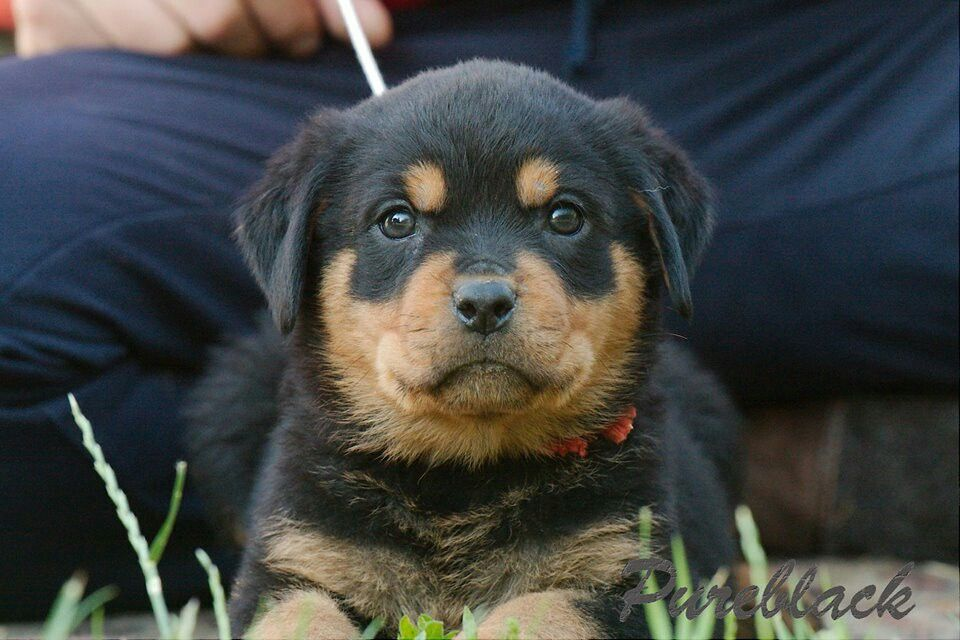 Rottweiler So Cute Dogs And Other Cuties Puppies Rottweiler