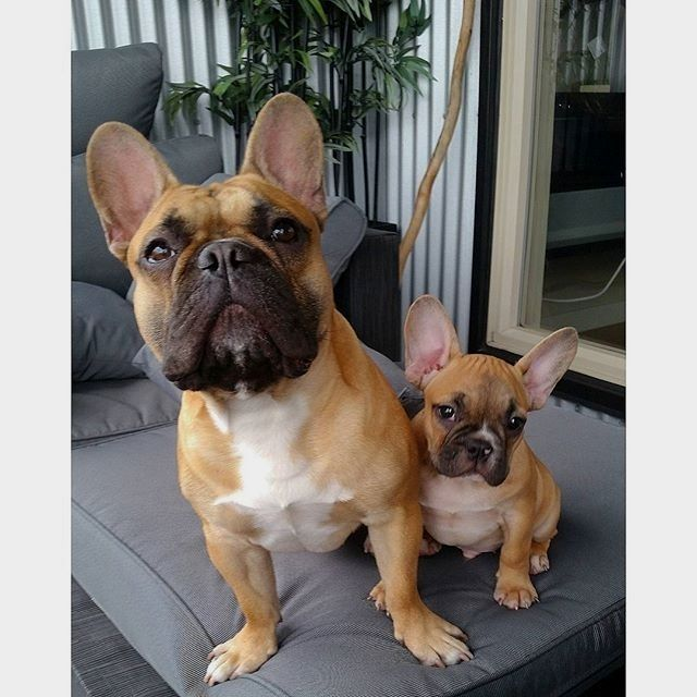 Pin By Bettina Crenshaw On Frenchies Pinterest French Bulldogs