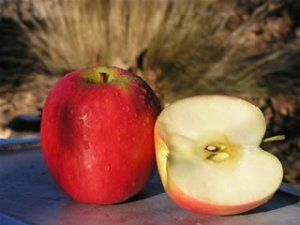 Heirloom Fruit Trees For Home Farm Trees Of Antiquity Rooted Organic Pink Lady Apples Pink Ladies Fruit Trees