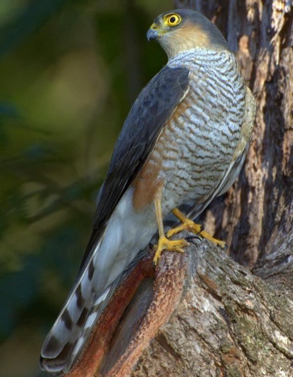 Species Of Hawks In Louisiana Home Kites Hawks Eagles Accipitridae Sharp Shinned Hawk Sharp Shinned Hawk Bird Watching Wild Birds