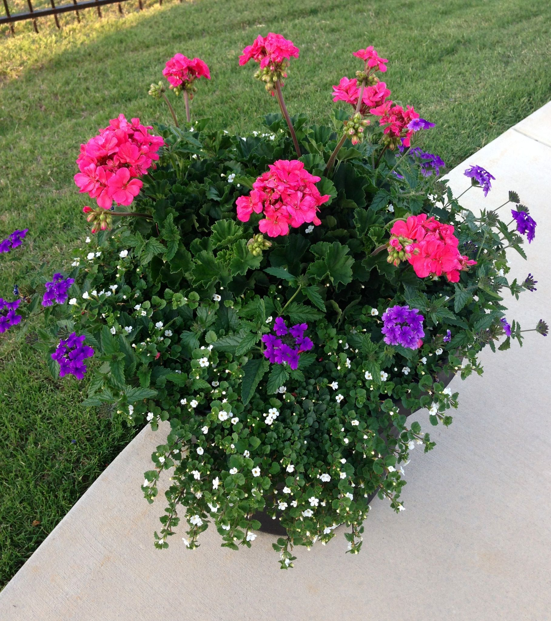 Geraniums Blue Wave Petunias And Giant Snowflake Bacopa Garden Containers Container Plants Proven Winners Flowers