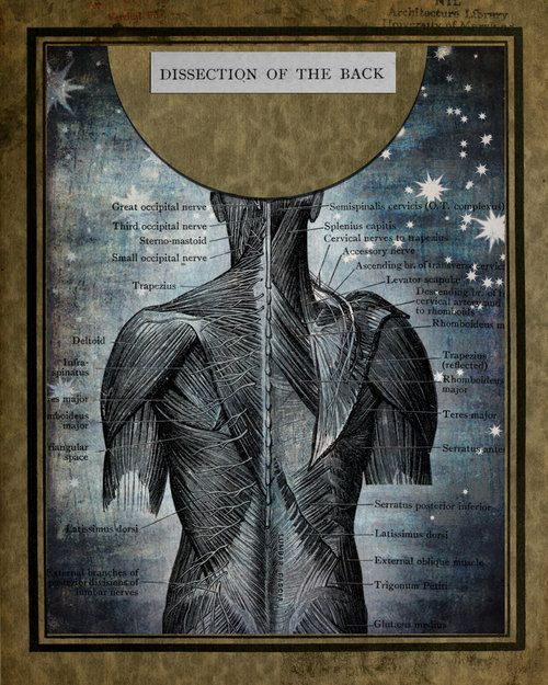 'Dissection of the back' by DivineIguana@deviantart
