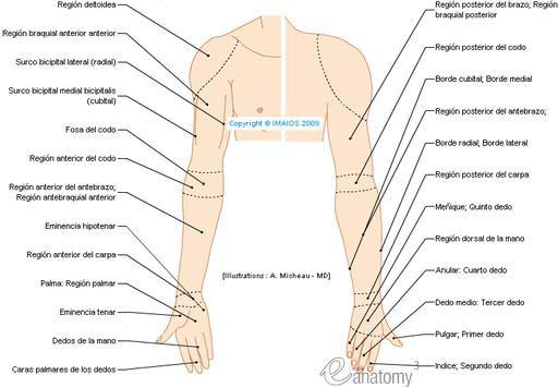Regiones del miembro superior - Anatomía Humana (Dibujos) : Región ...