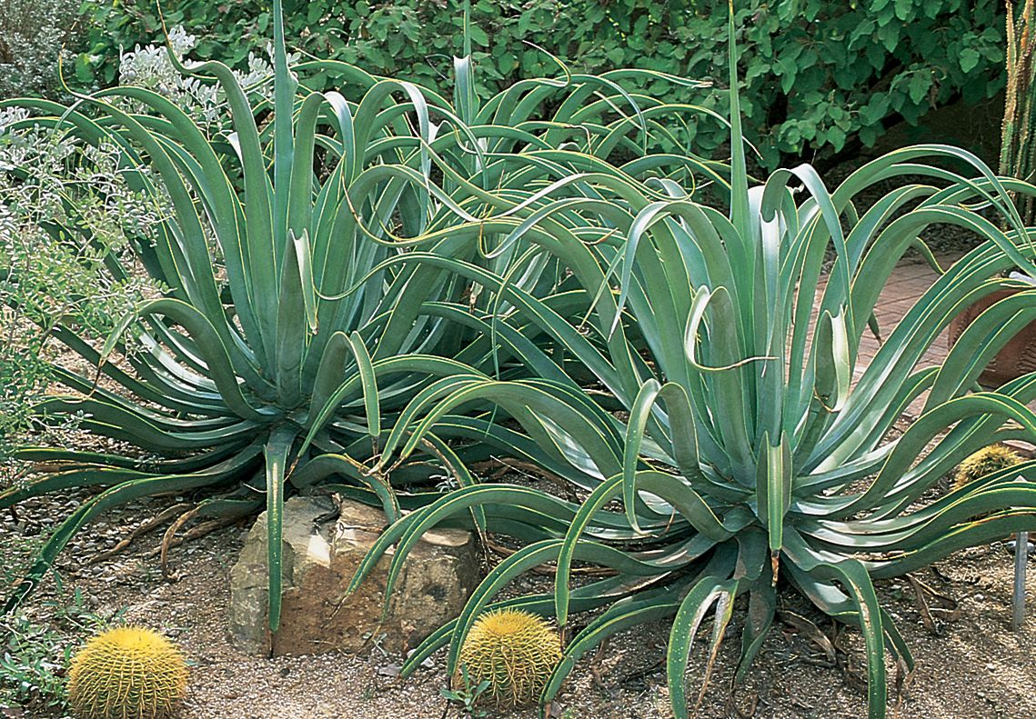 This octopus agave agave vilmoriniana is an ideal for Low maintenance desert plants