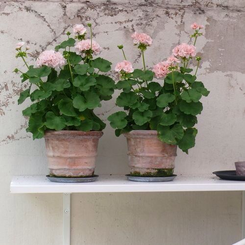 Macetas jardn flores porch topiary pinterest gardens old fashioned pink flowers macetas mightylinksfo