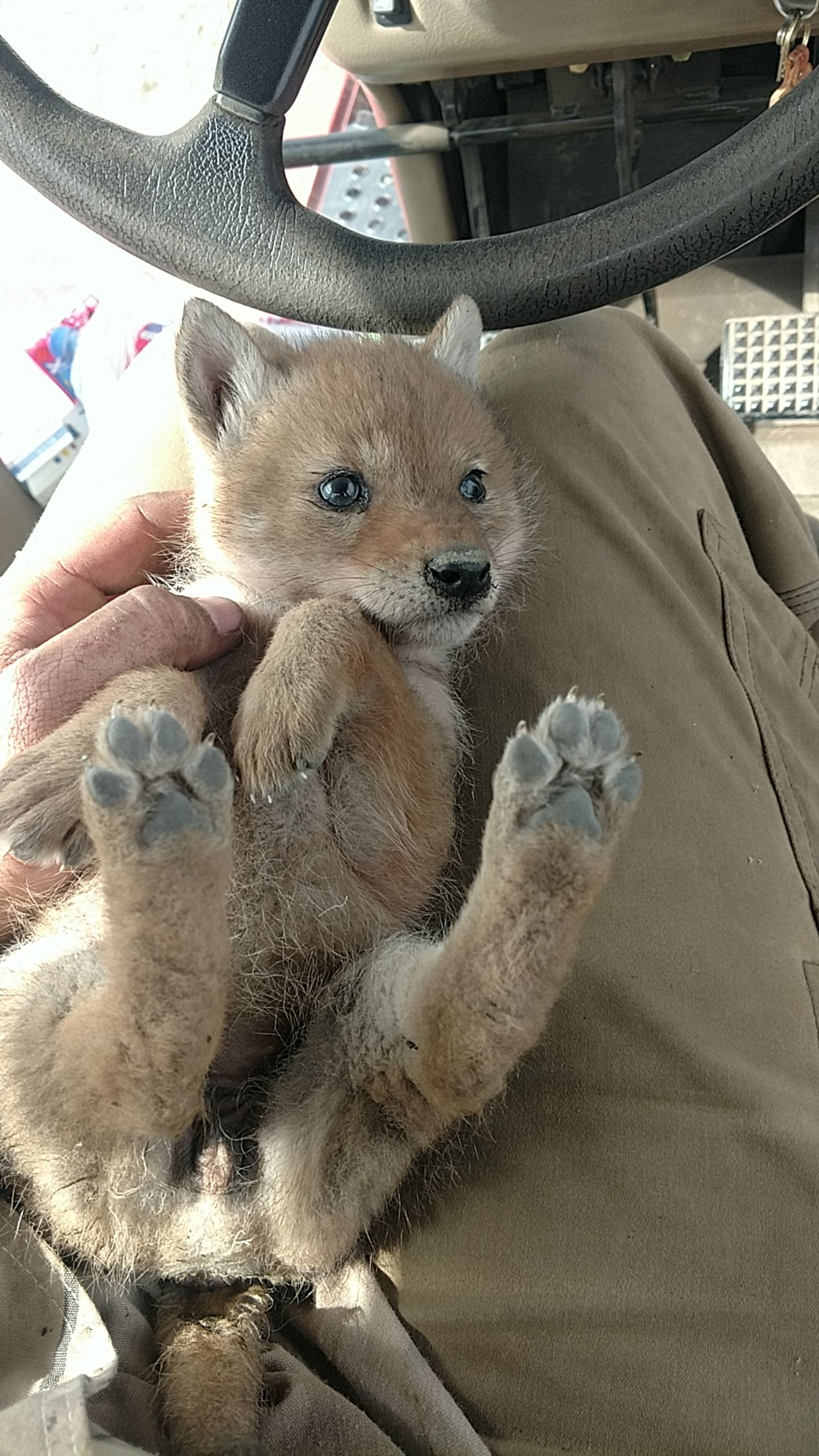 Baby coyote that was in my field. Cute baby animals