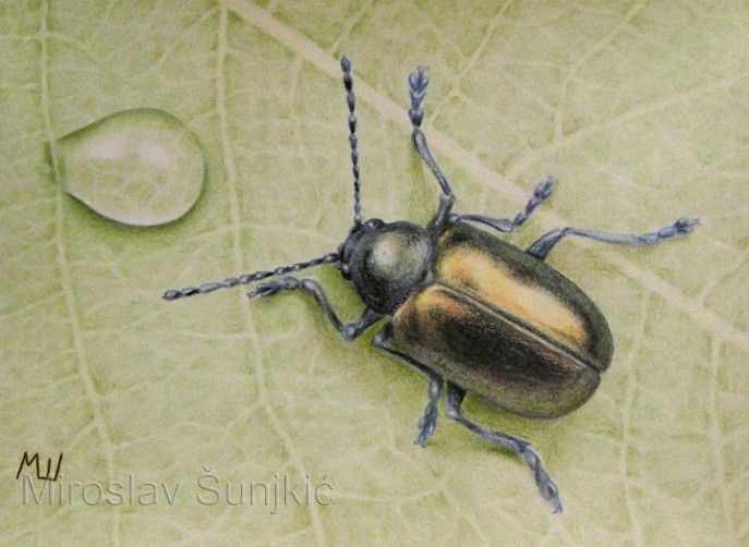 Iridescent Beetle Colored Pencil Drawing By Miroslav Sunjkic Bug Insect Leaf Waterdrop Coloredpencil Color