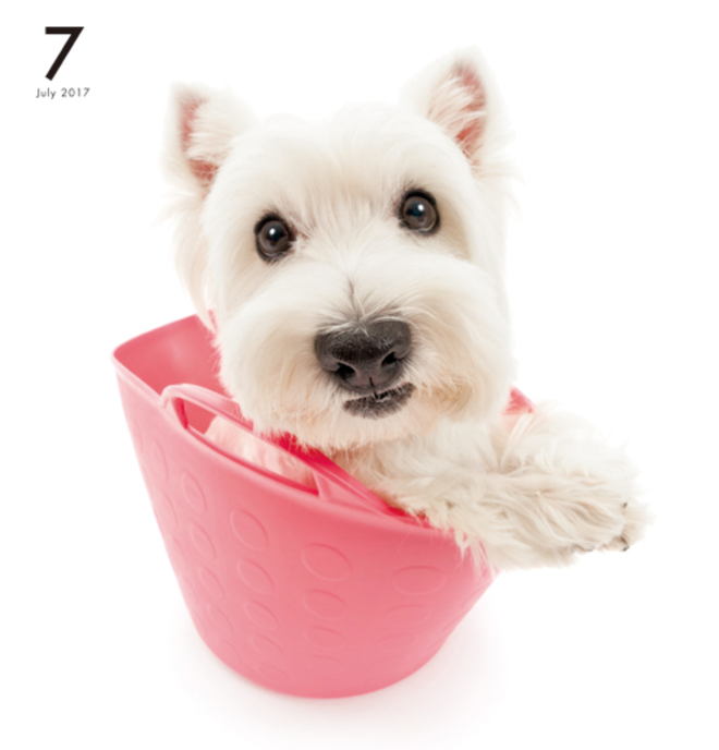 Artlist Collection The Dog West Highland White Terrier Calendar White Terrier West Highland White Terrier West Highland White