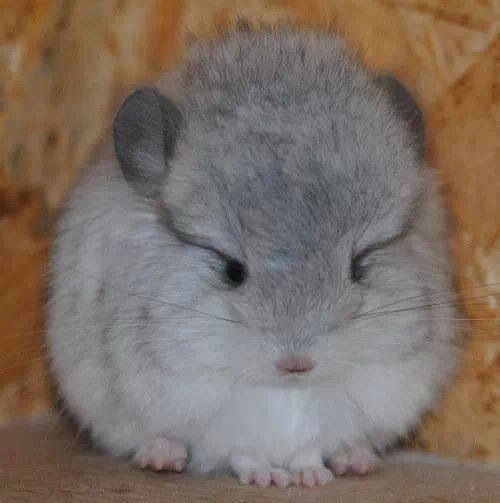 Baby Fluffy Cute Baby Animals Chinchilla Cute Chinchilla Pet