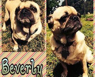 Beverly Ann Pug Rescue Of Austin Adopt A Pug Pug Rescue Pugs