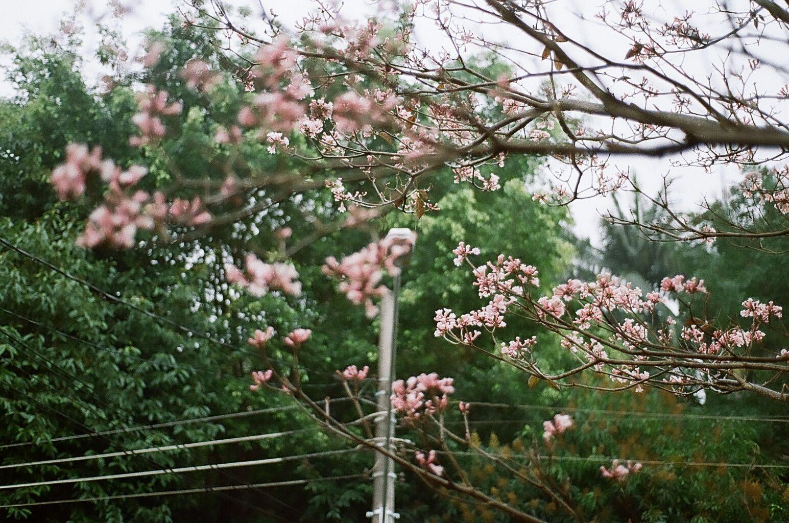 #cerejeira