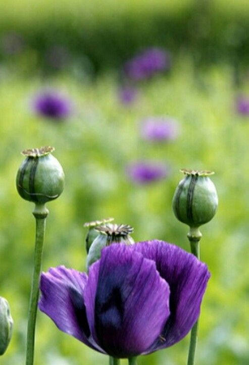 Beautiful Purple Poppies ܓ With Images Purple Poppies Poppy Flower Purple Flowers