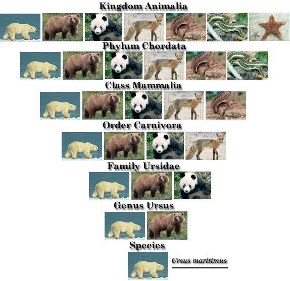 polar bear taxonomy classification chart - Google Search ... Bear Species Chart