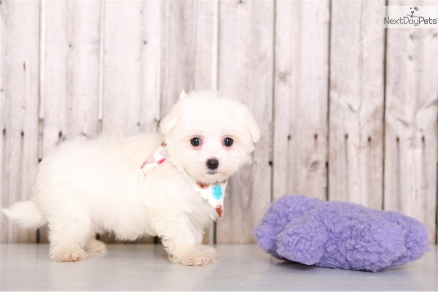 Kisses Maltese Puppy For Sale Near Columbus Ohio 22a889fc 9081 Maltese Puppies For Sale Maltese Puppies For Sale