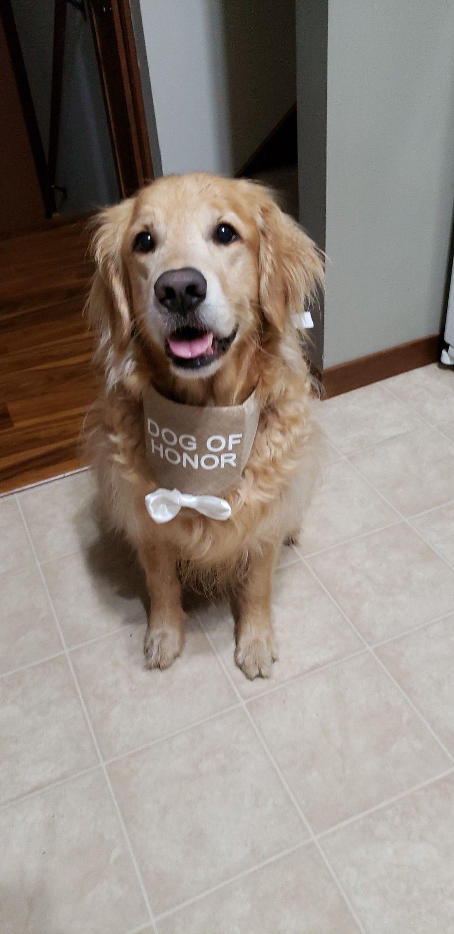 Dog of honor for our wedding Golden retriever, Dogs
