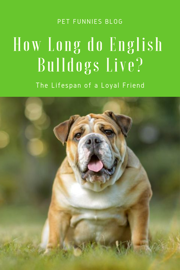 How Long do English Bulldogs Live? The Lifespan of a Loyal