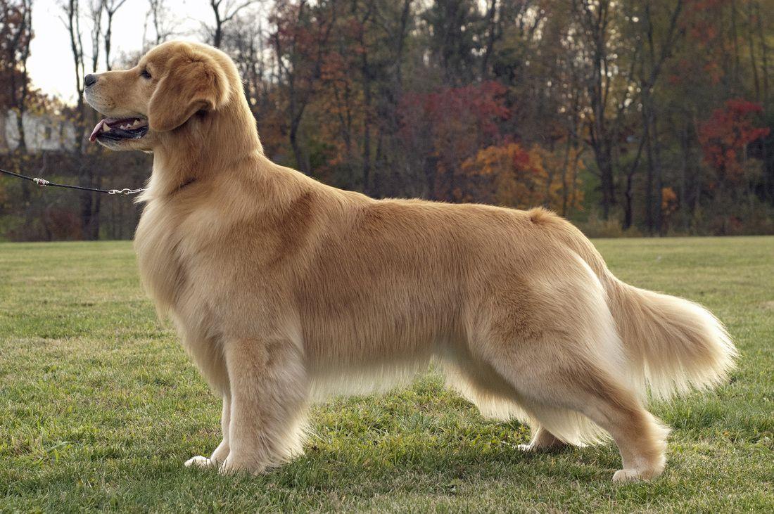 More Photos Of Gibbs Dogs Golden Retriever Golden Retriever Dog Photos
