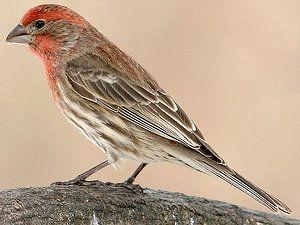 الهاوس فينش جميع المعلومات حول هذا الطائر تربية تغدية تغريد و المزيد طيور العرب Finches Bird Backyard Birds Tree Of Life Images