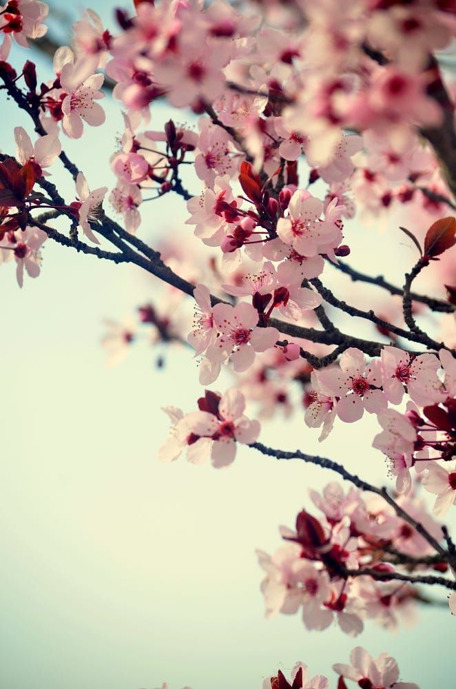 Spring Blossom By Senthil Balakrishnan On 500px Cherry Blossom Wallpaper Spring Nature Flowers Nature