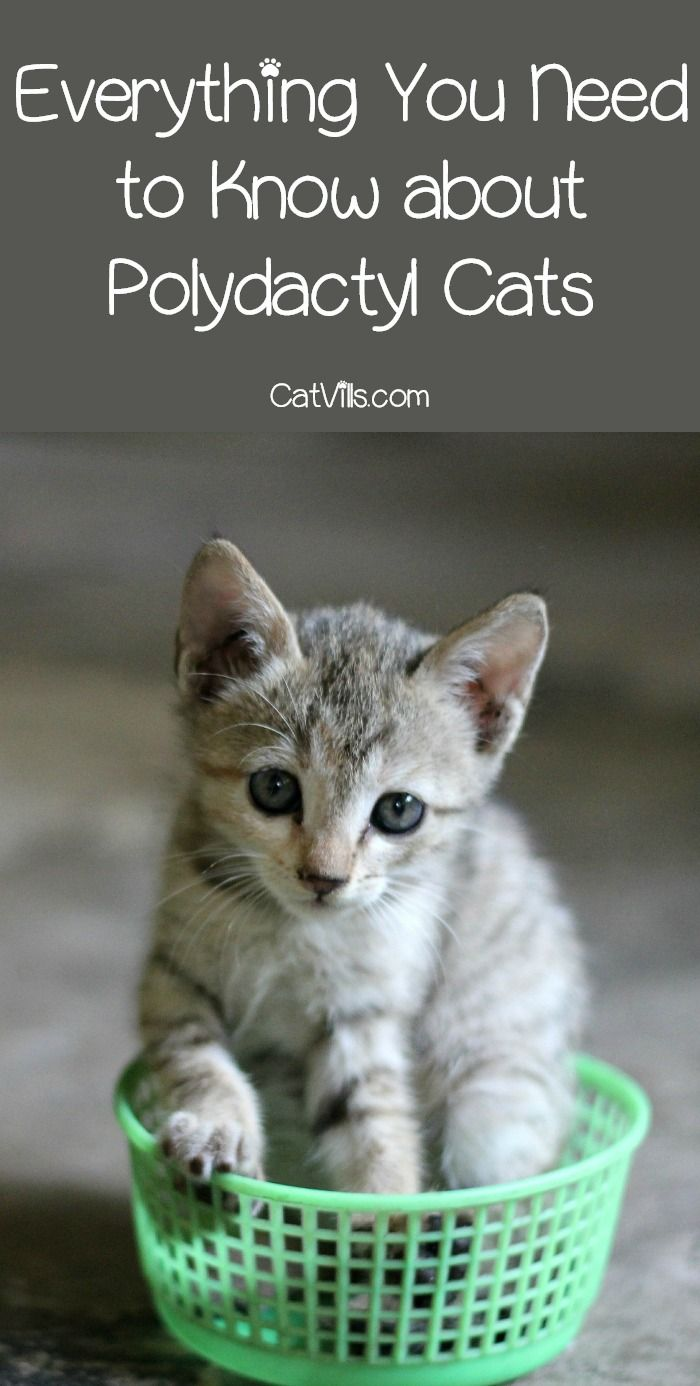 Polydactyl Cats Are There Any Major Health Concerns Catvills Polydactyl Cat Cats Kittens Cutest